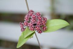 Sluit omhoog rode Hoya bloemen (Hoya parasitica) Royalty-vrije Stock Afbeeldingen