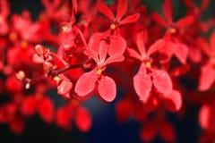 Sluit omhoog rode orchidee stock fotografie