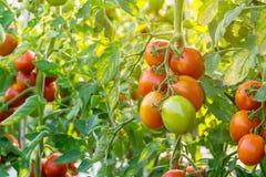 Sluit omhoog rode tomaat op tuingebied stock foto