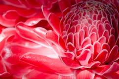 Sluit omhoog Rode Toorts Ginger Flower Royalty-vrije Stock Afbeeldingen