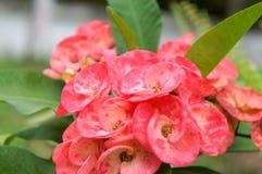 Sluit omhoog roze bloem en groene bladeren stock fotografie