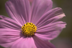 Sluit omhoog roze de pastelkleurtoon van de bloemkosmos Royalty-vrije Stock Afbeelding