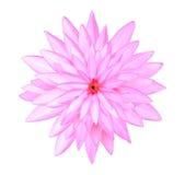 Sluit omhoog roze die lotusbloembloemen op wit worden geïsoleerd Stock Afbeeldingen