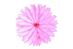 Sluit omhoog roze die lotusbloembloemen op wit worden geïsoleerd Royalty-vrije Stock Foto