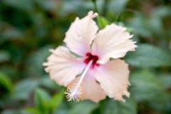 Sluit omhoog roze hibiscusbloem stock afbeeldingen