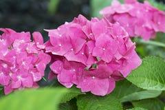 Sluit omhoog Roze Hydrangea hortensia met Groene en donkere Achtergrond Royalty-vrije Stock Foto