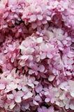 Sluit omhoog Roze kleuren van Hydrangea hortensiabloemen is een soort van vele species van bloeiende installaties Stock Foto