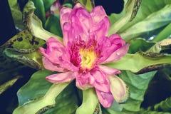 Sluit omhoog roze lotusbloem met geel bloemblaadje Royalty-vrije Stock Afbeelding