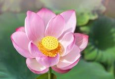 Sluit omhoog roze lotusbloembloem of Heilige nucifera van Nelumbo van de lotusbloembloem met groene bladeren die in meer bloeien stock afbeelding