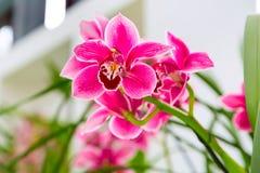 Sluit omhoog roze, purpere en witte de tak van de orchideebloem macro als achtergrond stock afbeeldingen