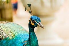 Sluit omhoog schoten van een Mooie Mannelijke Pauw Royalty-vrije Stock Fotografie