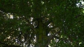 Sluit omhoog schuine stand van grote groene boom met zonneschijn stock video