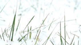 Sluit omhoog sneeuwgras stock footage