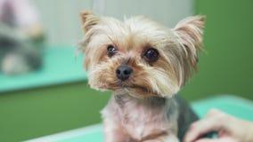 Sluit omhoog snuit van hond bekijkt camera, groomer kammend laag op poten van hond Huisdier het verzorgen salon stock videobeelden