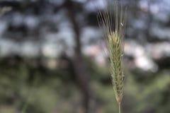 Sluit omhoog spruit van tarweoren stock afbeeldingen
