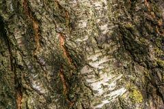 Sluit omhoog textuur van berkeschors Stock Foto