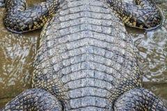 Sluit omhoog textuur van de levende achtergrond van de krokodilhuid Het patroon van de krokodilhuid van levend lichaam royalty-vrije stock afbeeldingen