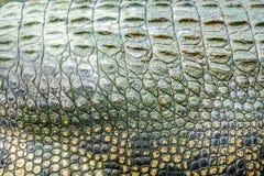 Sluit omhoog textuur van de levende achtergrond van de krokodilhuid Het patroon van de krokodilhuid van levend lichaam royalty-vrije stock afbeelding