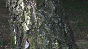 Sluit omhoog textuur van schors van een berk Berkeschors in natuurlijk milieu Een deel van berkboomstam met aardige decoratieve s stock footage