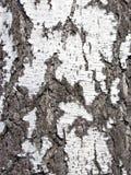 Sluit omhoog textuur van schors van een berk Stock Foto