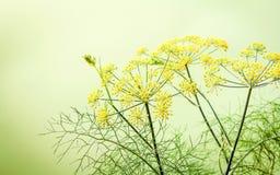 Sluit omhoog tot bloei komende tak van venkel op lichtgroene achtergrond S royalty-vrije stock foto