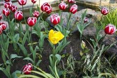 Sluit omhoog tulpenbloemen Japan Stock Afbeeldingen