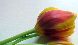Sluit omhoog van Één enkele Tulp stock foto