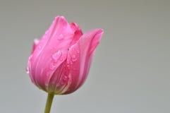 Sluit omhoog van één roze tulp na regen Stock Fotografie