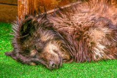 Sluit omhoog van één slaperig hond hoofd en hoger lichaam Hondslaap op a stock afbeeldingen