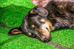 Sluit omhoog van één slaperig hondhoofd Hondslaap op een groen gras gr. royalty-vrije stock fotografie