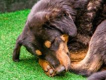 Sluit omhoog van één slaperig hondhoofd Hondslaap op een groen gras gr. royalty-vrije stock foto