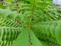 Sluit omhoog van acidus van bladerenphyllanthus als achtergrond Stock Fotografie