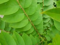 Sluit omhoog van acidus van bladerenphyllanthus als achtergrond Royalty-vrije Stock Fotografie