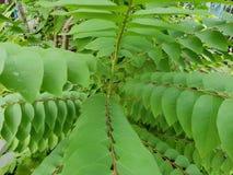 Sluit omhoog van acidus van bladerenphyllanthus als achtergrond Stock Foto