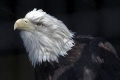 Amerikaans Eagle Royalty-vrije Stock Foto