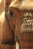 Sluit omhoog van Afrikaans olifantsgezicht in zonlicht stock foto's