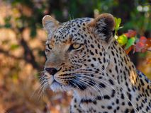 Sluit omhoog van Afrikaanse parduspardus van luipaardpanthera royalty-vrije stock foto's