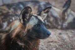 Sluit omhoog van Afrikaanse wilde hond stock foto's
