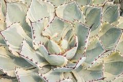 Sluit omhoog van agave succulente installatie royalty-vrije stock foto's