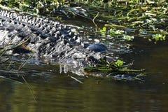Sluit omhoog van Alligator in het moerasland Stock Foto