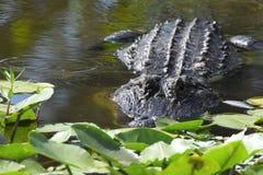 Sluit omhoog van Alligator in het moerasland Royalty-vrije Stock Afbeelding