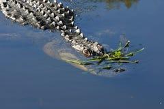 Sluit omhoog van Alligator in het moerasland Royalty-vrije Stock Foto's