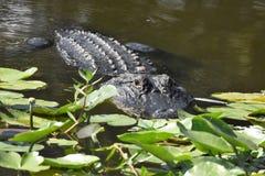 Sluit omhoog van Alligator in het moerasland Stock Fotografie