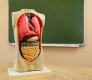 Sluit omhoog van anatomisch model van een menselijk lichaam stock foto's