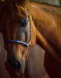 Sluit omhoog van Arabisch paard Royalty-vrije Stock Foto's