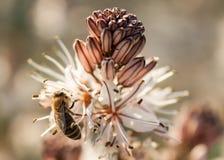 Sluit omhoog van Arbeidersbij die een Wildflower bestuiven tijdens de Lente Royalty-vrije Stock Afbeeldingen