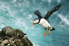 Sluit omhoog van Atlantische papegaaiduiker tijdens de vlucht royalty-vrije stock afbeelding