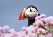 Sluit omhoog van Atlantische papegaaiduiker in zuinigheid royalty-vrije stock fotografie