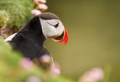 Sluit omhoog van Atlantische papegaaiduiker in zuinigheid royalty-vrije stock foto's