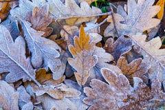 Sluit omhoog van berijpte de herfstbladeren Stock Fotografie